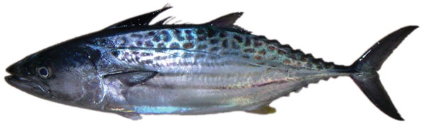 Leaping bonito (Cybiosarda elegans)