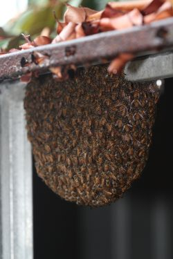 Asian honey bee swarm on garden shed