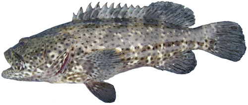 Blackspotted Rockcod Epinephelus Malabaricus Species Identification