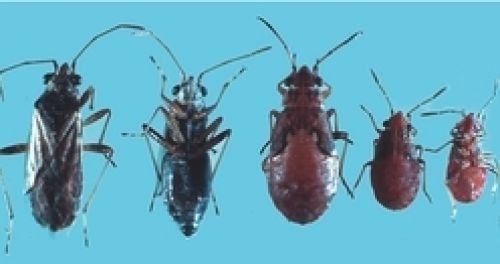 Rutherglen bugs, nymphs and adults