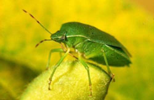 Green vegetable bug showing bright green colour and shield shaped body