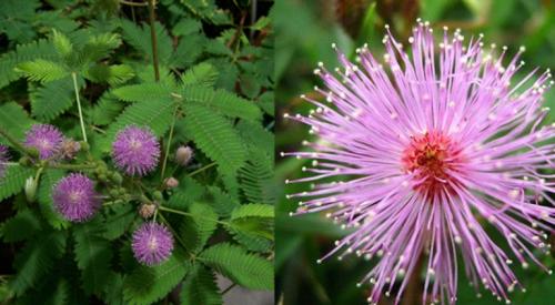 Mimosa (sensitive plant)