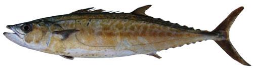 Adult shark mackerel
