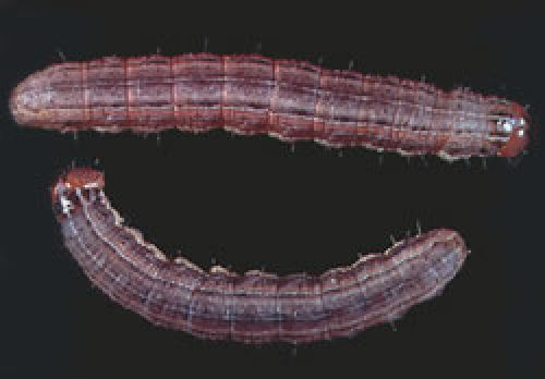 Northern armyworm larvae.