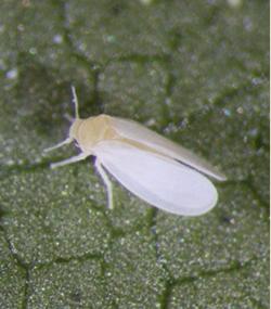 Image showing a Q biotype whitefly, Bemisia tabaci, adult