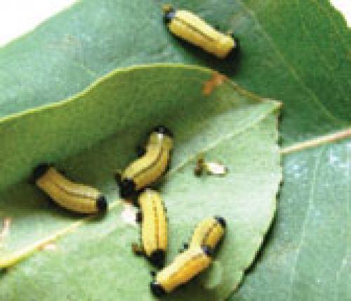 Larvae of  the northern eucalyptus leaf beetle (Paropsisterna cloelia)
