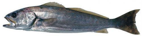 Teraglin jew (Atractoscion aequidens)