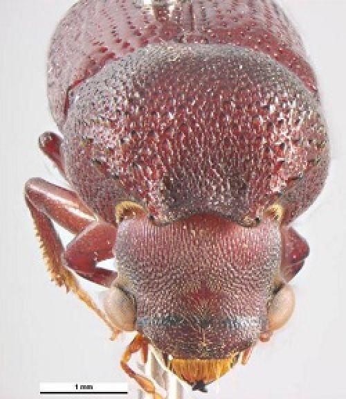 Heterobostrychus aequalis head frontal view