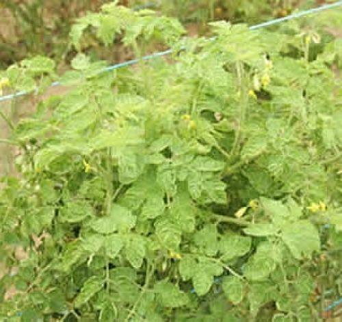 Tomato Yellow Leaf Curl Virus Edge India Agrotech