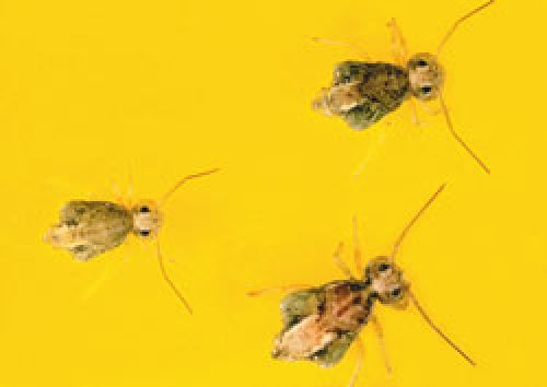 lucerne flea or clover springtail adults, yellow-green, wingless and globular in shape.