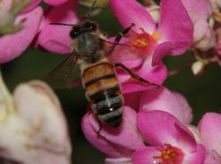 <h3>European honey bee </h3> (<em>Apis mellifera</em>)