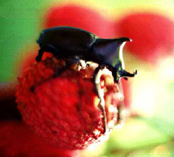Male elephant beetle (Xylotrupes gideon) on fruit