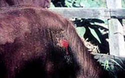 Lesion on a steer caused by a buffalo fly