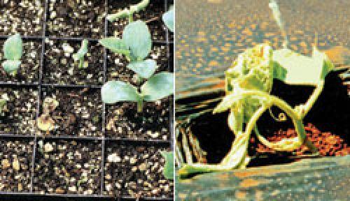 Affected seedlings
