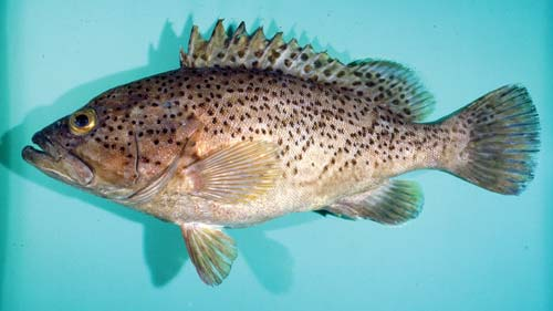 Photo of a Speckled groper