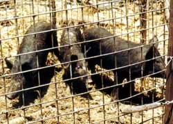 Feral pigs trapped in cage