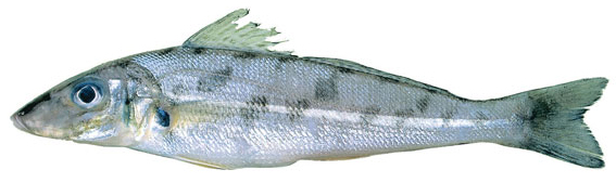 Trumpeter whiting (Sillago maculata)
