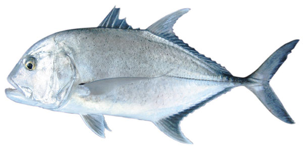 Giant trevally (Caranx ignoblis)