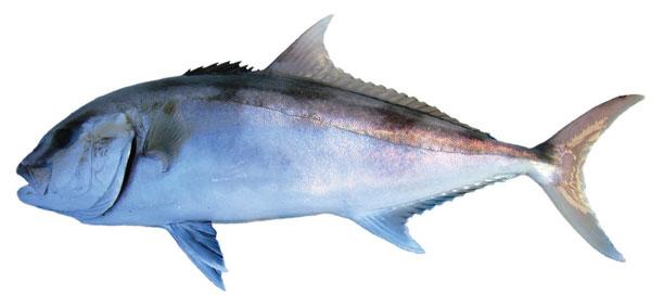 Samson fish (Seriola hippos)