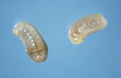 Lucerne seed wasp, Bruchophagus roddi, larva
