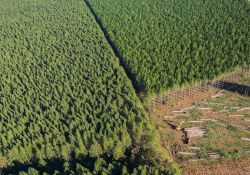 Plantation forests on State land