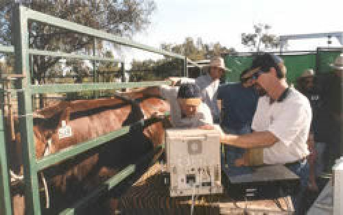Senior Extension Officer John Bertram gives hands-on advice to beef industry producers