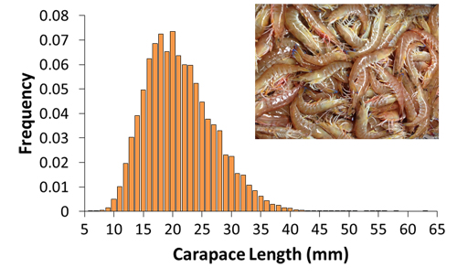 Length frequency of prawns caught in fishery independent monitoring trawl surveys between 2006 and 2014.
