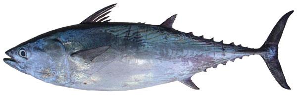 Mackerel tuna (Euthynnus affinis)
