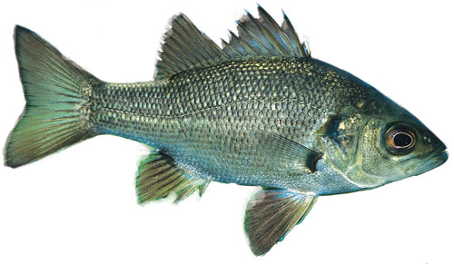 Image Of Australian B Fish Identification