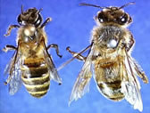 Bee comparison; Asian bee on left, European honeybee on right