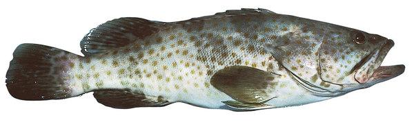 Goldspotted rockcod (Epinephelus coioides)