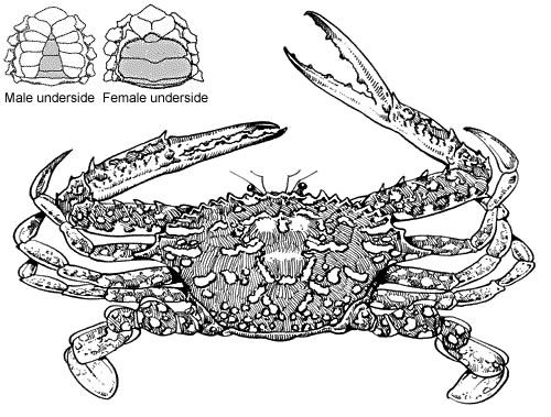 Drawing of a blue swimmer crab, showing the underside of the male and the female