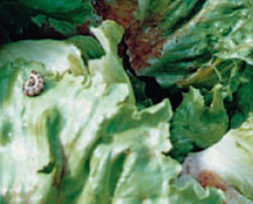 Photo of helicoverpa larva on lettuce