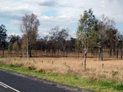 stand of eucalypt trees dofoliated by gumleaf skeletoniser