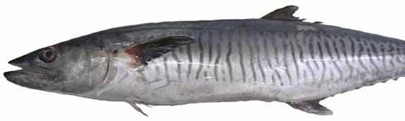 A Spanish mackeral