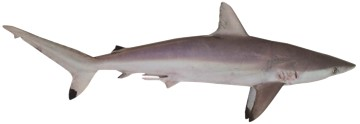 Sharks species picture