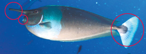 Photo of a spotted unicornfish