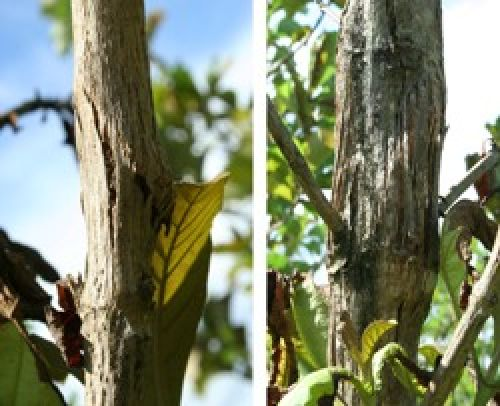 Pink disease stem canker on teak showing sunken lesions (left) and bark swelling and splitting (right)