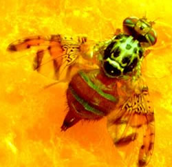 Photograph of an adult mediterranean fruit fly (Medfly) on yellow fruit pulp