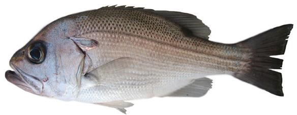 Pearl perch (Glaucosoma scapulare)