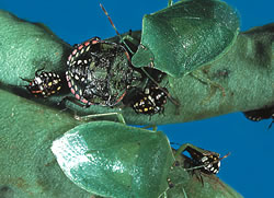 Photograph of Green vegetable bug adult and nymphs on plant - nymphs change colour as they develop, adults are uniformly bright green. Image copyright D. Ironside