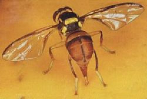 Picture of an Oriental fruit fly