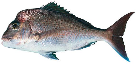 Snapper (Pagrus auratus)