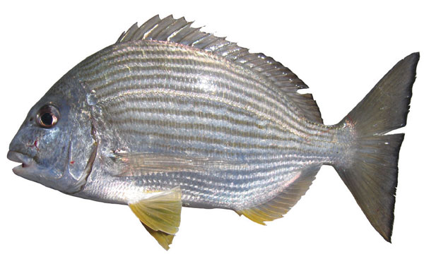 Tarwhine (Rhabdosargus sarba)