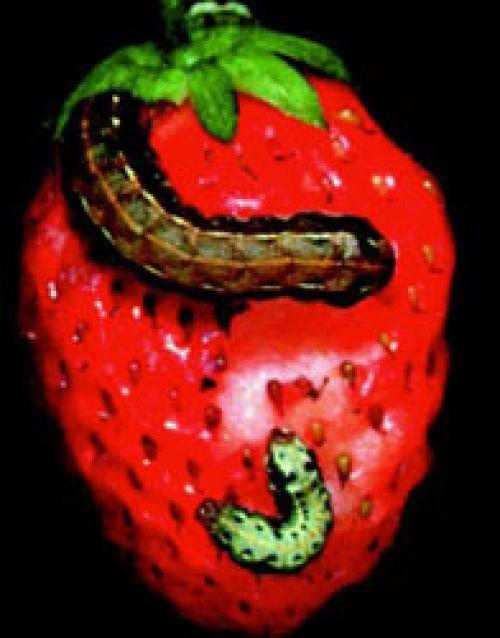 Larva feeding on strawberry
