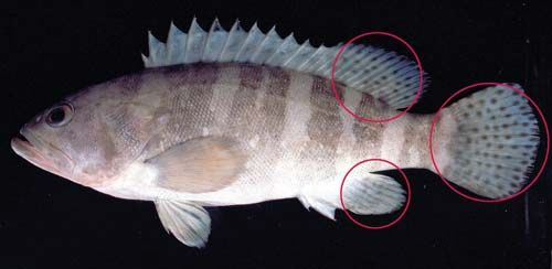 Photo of a Six bar rockcod