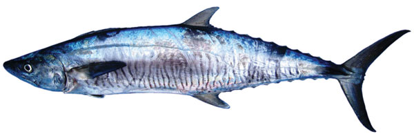 Spanish mackerel (Scomberomorus commerson)