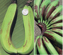 Early symptoms (left) and developed damage on bananas