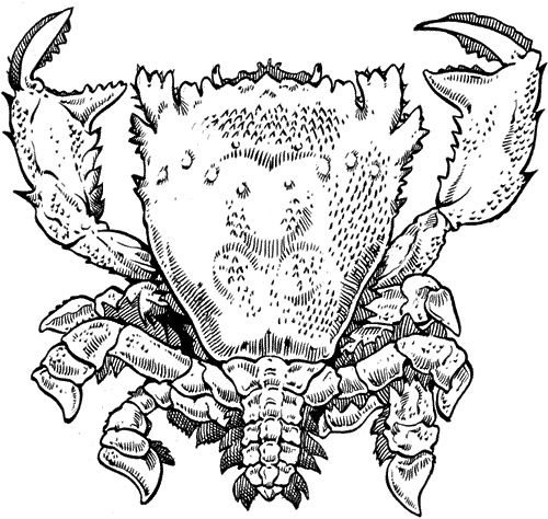 Drawing of a Spanner crab (Ranina ranina)