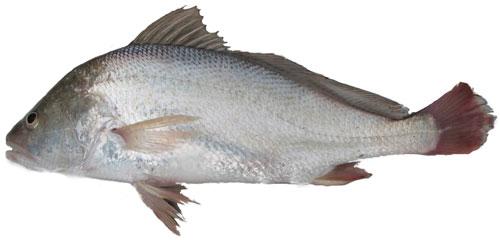 Silver jewfish (Nibea soldado)